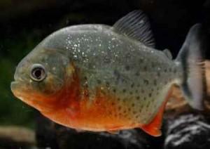 ماهی پیرانا
