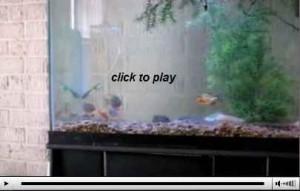 ویدیو ماهیان پیرانا (جالب یا دلخراش؟؟)