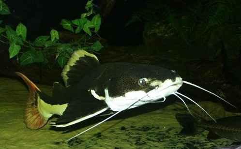 ماهی ردتیل