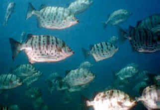 ماهی اسکات (سیلور اسکات ، اسکات سبز و قرمز)