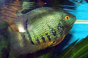 شناخت،نگهداری و تکثیر ماهی سورم