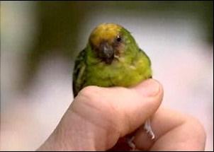 کوچکترین طوطی جهان در گینه کشف شد
