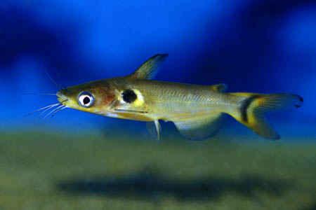 گربه ماهی خورشیدی (پنگوسی خالدار)