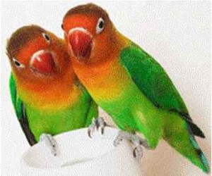 تکثیر جدایی ناپذیر (طوطی برزیلی یا کوتوله)