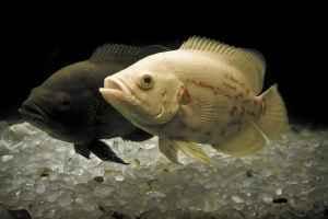 تکثیر ماهی اسکار