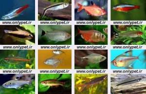 شناخت،نگهداری و معرفی انواع ماهیان تترا
