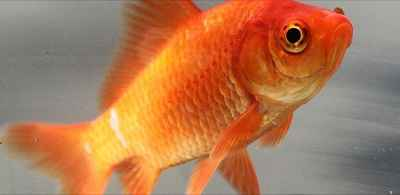 Common_goldfish
