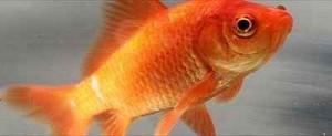 ماهی قرمز عید، درست نگهداری کنیم!