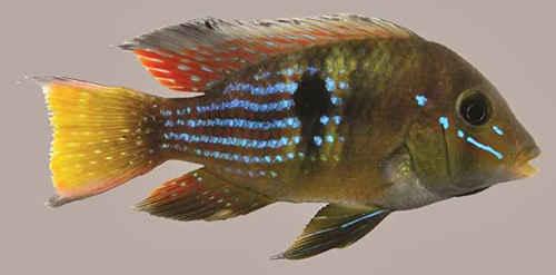 کشف گونه جدید از سیکلیدها در رودخانه ریو دلاپلاتا اروگوئه