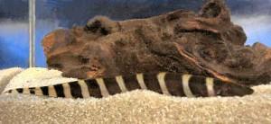 نایف زبرا (چاقو ماهی گورخری)