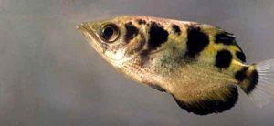 ماهی تیر انداز میتواند افراد را تشخیص دهد و روی آنها آب بپاشد!