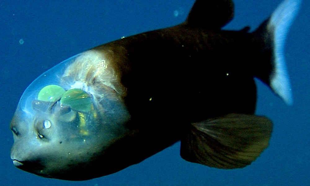 ماهی کله شیشه ای از عجایب اقیانوس