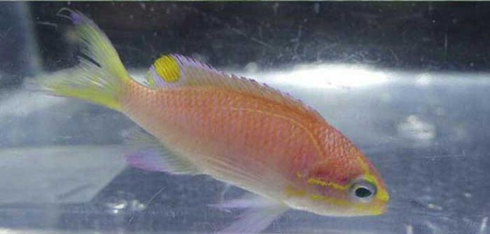 ماهی اوباما! یک گونه تازه کشف شده