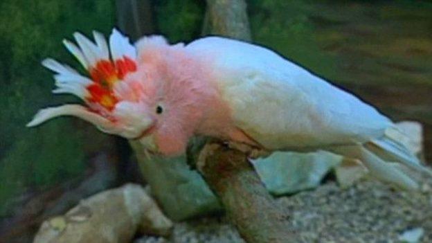 مسن ترین طوطی جهان به نام کوکی