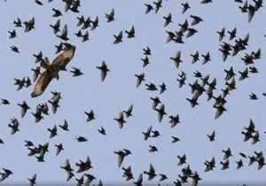 چرا پرندگان هنگام پرواز به یکدیگر برخورد نمی کنند؟