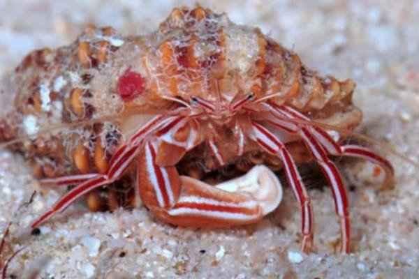 کشف یک خرچنگ جدید که بدن ماهی ها را پاکسازی میکند!