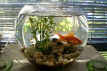 نکاتی جهت نگهداری بهتر  از ماهی قرمز عید در تنگ بلورین!