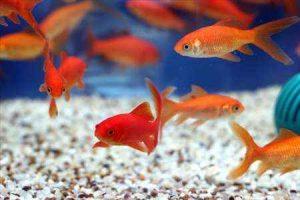 پرورش۸۰ میلیون قطعه ماهی قرمز برای شب عید