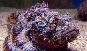 سنگ ماهی یکی از خطرناکترین آبزیان جهان است