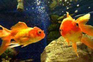 مجرم شدن در سوئیس به خاطر نگهداری از ماهی انفرادی!