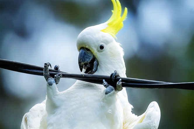 طوطی های کاکل زرد دشمنان اصلی اینترنت استرالیا