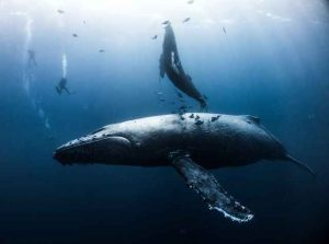 عکس روز نشنال جئوگرافیک از نهنگ گوژپشت (۲۶/۱۲/۲۰۱۷)