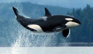 نهنگ قاتل می تواند صدای انسان را تقلید کند + صدای تقلید شده