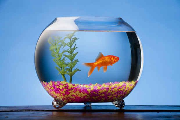 توصیه های اشتباه و شایعاتی که در مورد ماهی قرمز مطرح میشوند