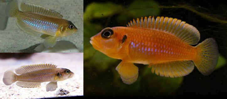 انواع ماهی اسلاتوس