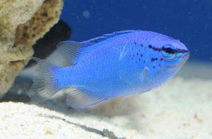 ماهی دامسل آبی (دامسل شیطان آبی)
