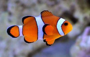 دلقک ماهی اسلاریس