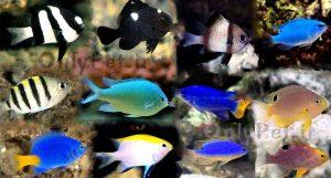 ماهی دامسل (دوشیزه ماهی)