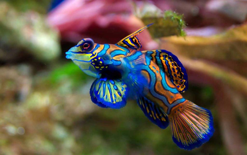ماهی ماندارین