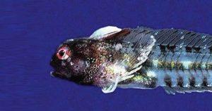 کشف یک گونه جدید بلنی به نام بلنی اپیدمی (پاندمیک بلنی)
